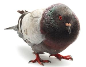 Quelle est la solution idéale pour chasser les pigeons de votre jardin ?